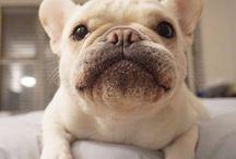 carlino ,bulldog