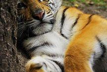 Fav picks / Tiger