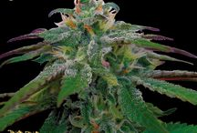 Reserva Privada Cannabis Seeds / Collection of award winning Cannabis seeds from Reserva Privada. Order your souvenirs today from www.DNAGenetics.com