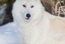 Wölfe, Natur