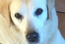 Fibi / Labrador