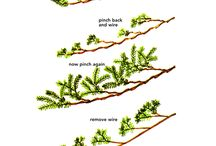 Juniper bonsais