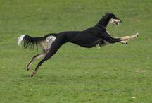 Saluki / Dog of Dogs. Sensitive, elegant, spirited. Ours is called Wanda. A dog called Wanda.