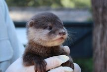 Otter <3 / This board is dedicated to the animal otter - after I saw this animal wild in nature for my first time, I just realized how special and beautiful this little creatures are!
