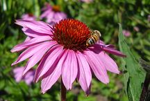 Echinacea - Echinacea purpurea / All things related to Echinacea