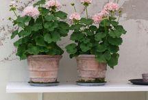 Blomster / Hyacinter