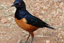 Dapper birds