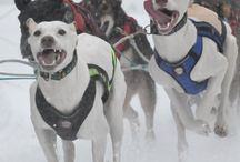 Sled dog races / In Alaska, winter means skiing and skating and snowboarding, yes, but it also means mushing.