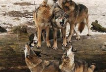 Wolf Photos / A selection of wolf photos that we like / by Snowpaw Store