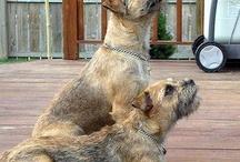 Border Terrier- my future doggie!