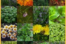 Medicinal Gardening