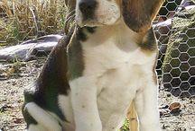 onze beagle