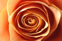 fr.植物.薔薇
