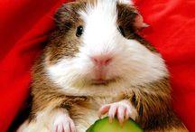 Guinea pigs ^^