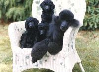 Poodles....nothing Better! / by Chelsea Clinton