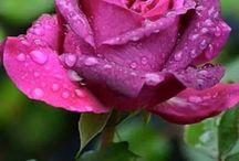 rosa pink c ofvalho