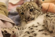 Niko the Snow Leopard Cub / by Tulsa Zoo