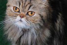 Cats Especially Persians