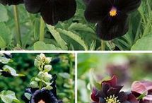 BLACK FLOWERS FOR GARDEN