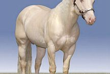 Horse Color ~ Cremello / Cremello horses have cream coats with pink skin and blue or glass eyes (cremello is pronounced with emphasis on the penultimate syllable). Their manes and tails are white. The cream colour can vary from a very pale off white to a richer colour resembling a pale gold (like a pale palomino). If they are not white (due to socks or other white markings) the lower legs may be a slightly darker shade than the body. / by Robin Hewitt