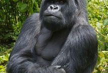 Gorilla Trekking / by Eyes on Africa Safaris