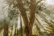 Olivenbäume / Die schönsten Olivenbäume und Haine auf Korfu