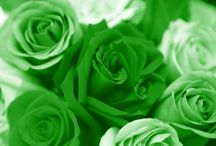 Gorgeous Green Rose / Green Rose: The rarest of the rare!