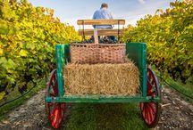Old Timey Days at Burntshirt Vineyards / Photo Shoot of a Vintage Harvest