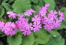 Oman puutarhan kukkia