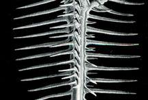 Coquillages Ernst Haeckel