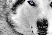 Wolves / My wolves. My beautiful, adorable wolves...