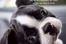 Bostie Babies / Oh for the love of Boston Terriers...