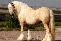 Tinker / Voici les chevaux Tinker. Les plus beau chevaux de trait du monde.