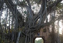 Nature - Banyan Trees / by Andrew Abranches