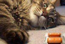 Katten ziektes / Een kat kan ziek worden, een ziekte bij de kat constateren en eventueel behandelen indien dat mogelijk is.