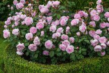 Roses / Trandafiri de gradina