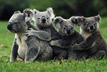 ANIMAL • Koala