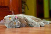 GatoTicón
