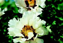 Peonies - white / World biggest peonies collection...