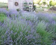 Lavender garden designs