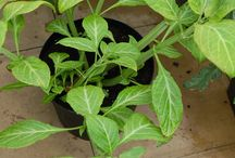 Salvia divinorum / Sage, Salvinorin A