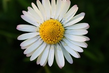 Daisy chains... / by Julie Mack
