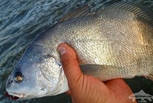 FRESHWATER DRUM / Fly fishing for freshwater drum.  Freshwater drum on the fly.
