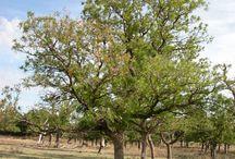 Soapberry Trees