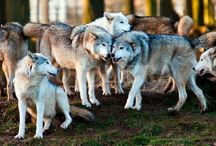 Happy Wolves