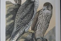 Bird Prints / Birds! From antique ornithological engravings and lithographs, many hand colored of birds, and their unusual behavior.