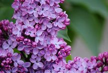 Lilac happiness