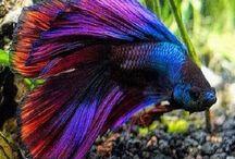 Pește betta