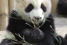 Panda / Panda spullen en gewoon panda