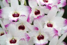 Rampotage orchidée